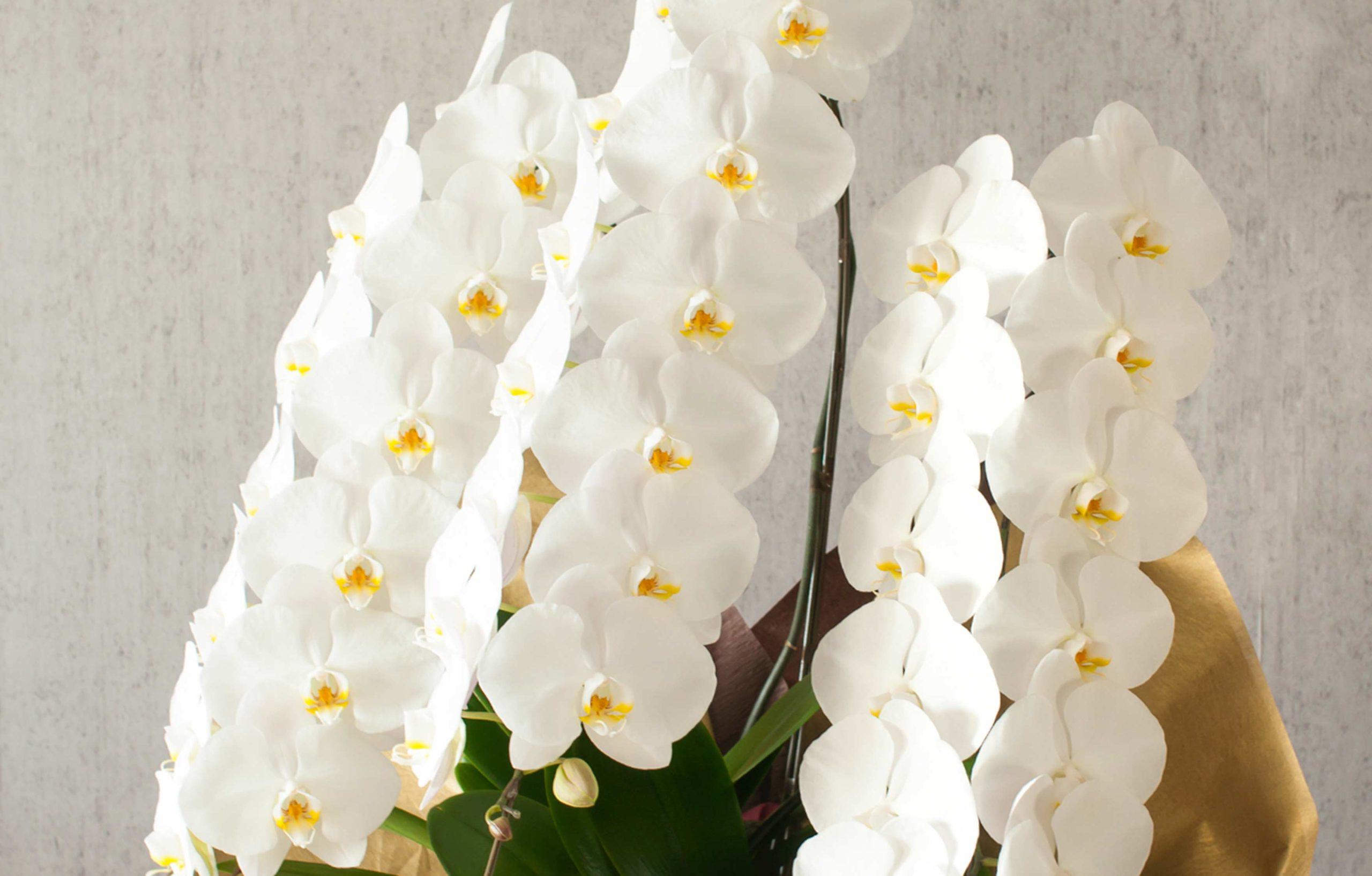 胡蝶蘭が贈り花として喜ばれる3つの理由