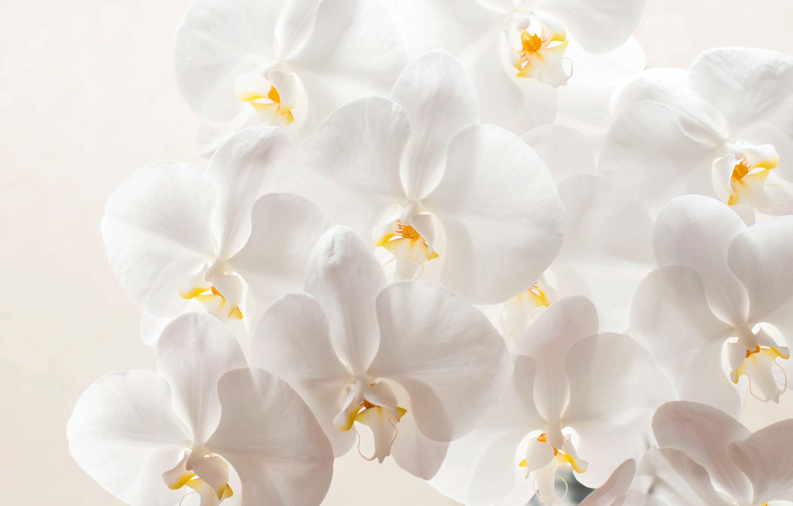 ・胡蝶蘭の花芽の切り方
