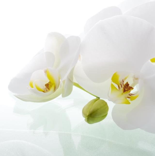 祝いの花 胡蝶蘭