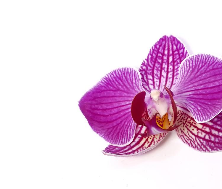 【胡蝶蘭】ギフトに最適!胡蝶蘭の花言葉【フラワーギフト】