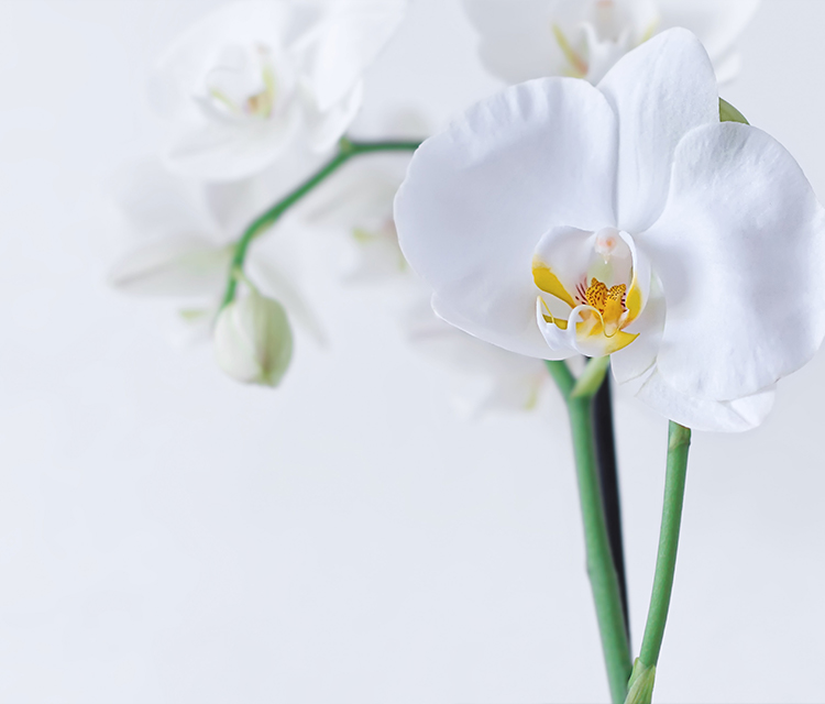 【胡蝶蘭】胡蝶蘭のお手入れ方法について【お花のギフト】