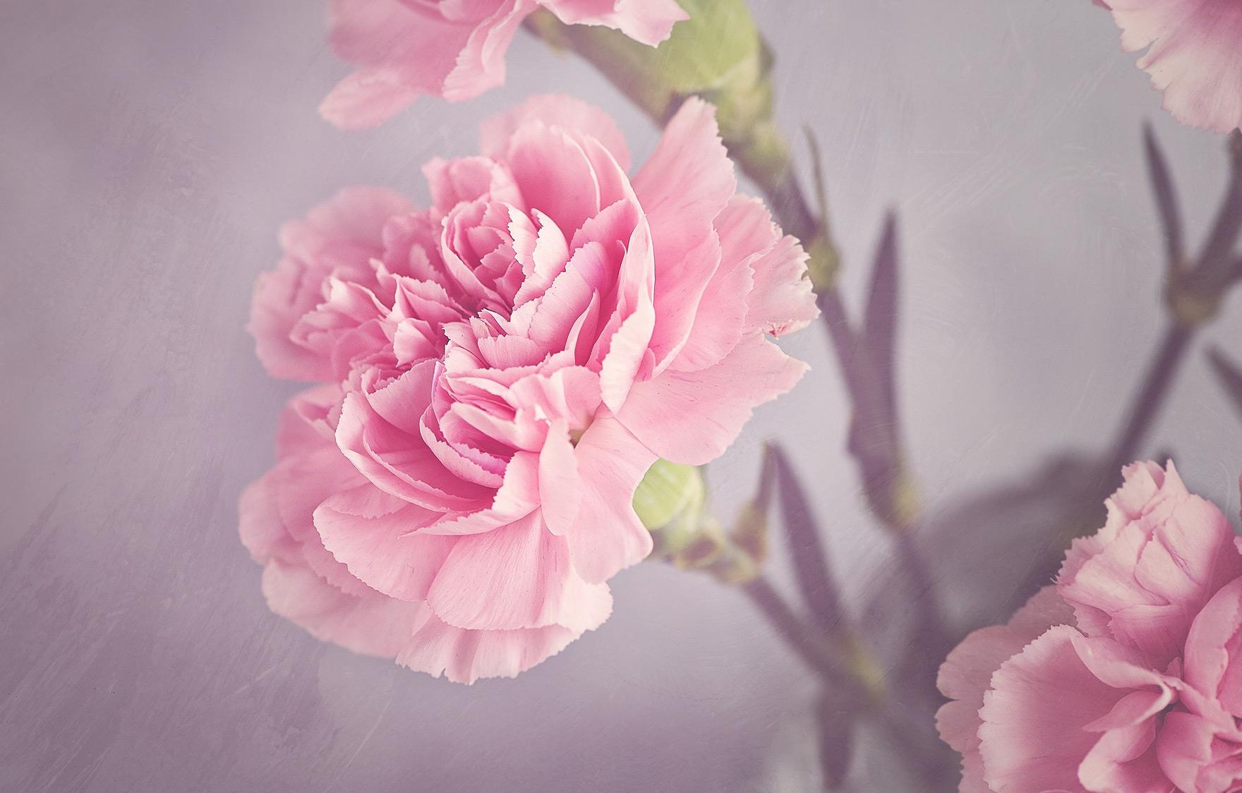 卒業式にぴったりな花言葉を持つお花「カーネーション」