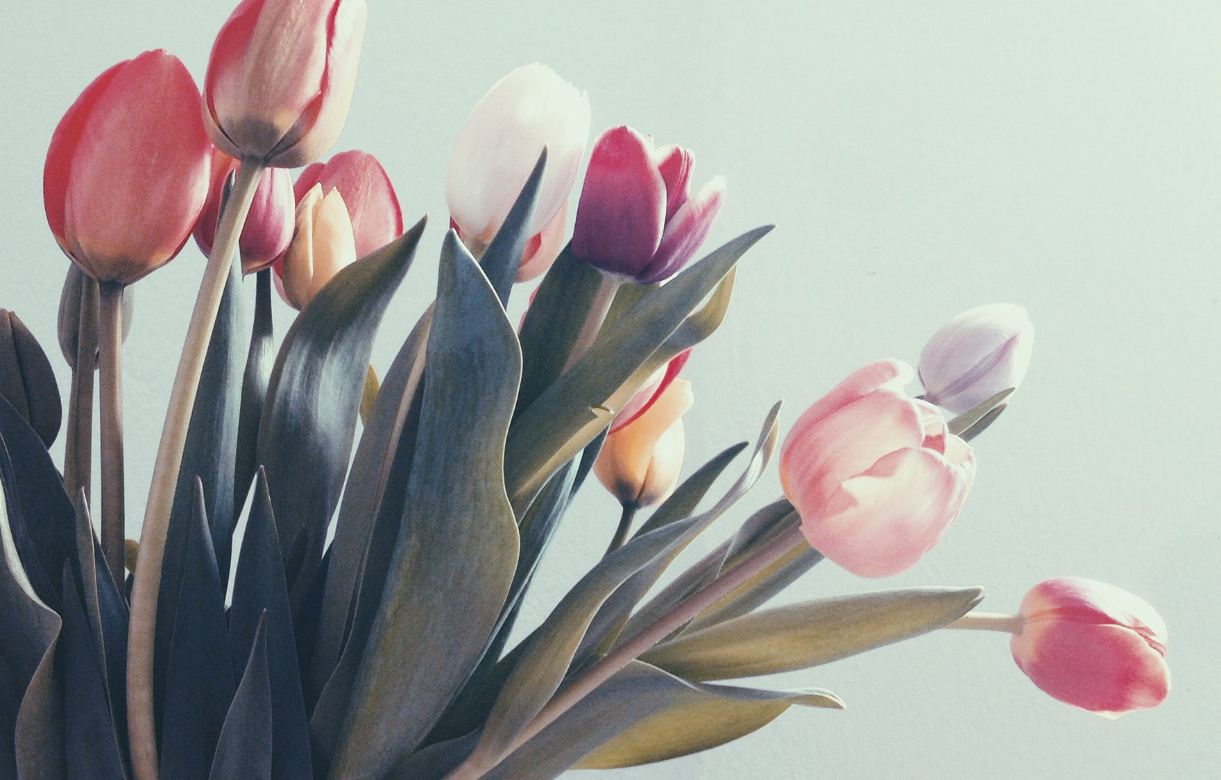 卒業式にぴったりな花言葉を持つお花「チューリップ」