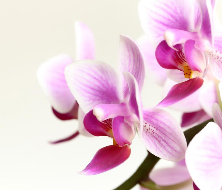 【胡蝶蘭】ピンクの胡蝶蘭の花言葉は?【フラワーギフト】