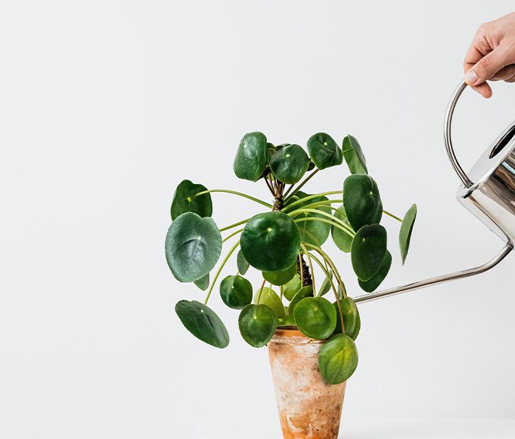 観葉植物の「水やり」のやり方