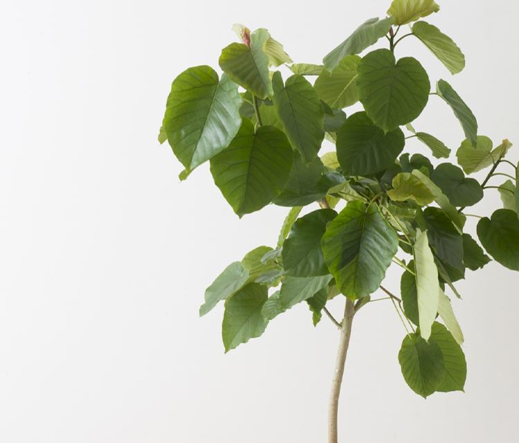 インテリアグリーンにおすすめ!ウンベラータの花言葉と贈る際のワンポイント