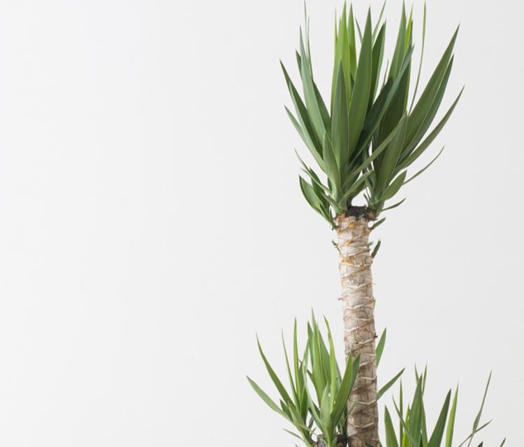 インテリアグリーンにおすすめ!ユッカ(青年の木)の花言葉と贈る際のワンポイント