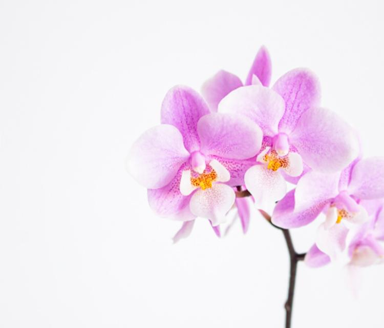 お贈りするシーンで迷わない、胡蝶蘭の種類とシーン別事例