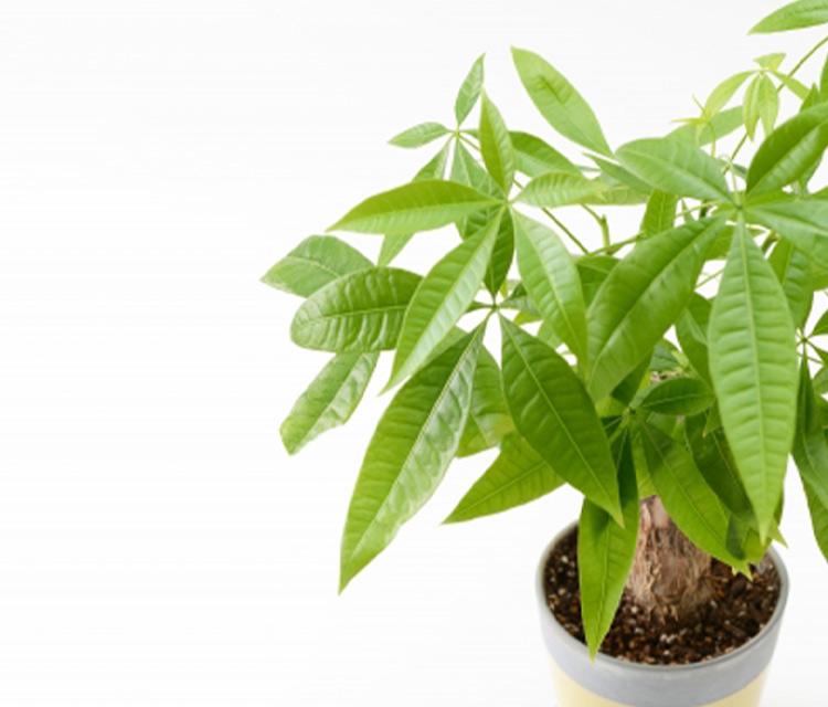 開店祝いにオススメな観葉植物のパキラ特集